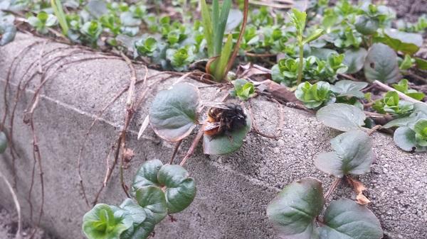 wildbienen01